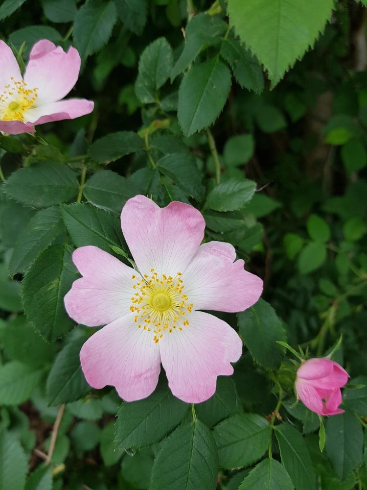 Bloem roze Moederdag